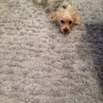 Miami-Dog-carpet-clean